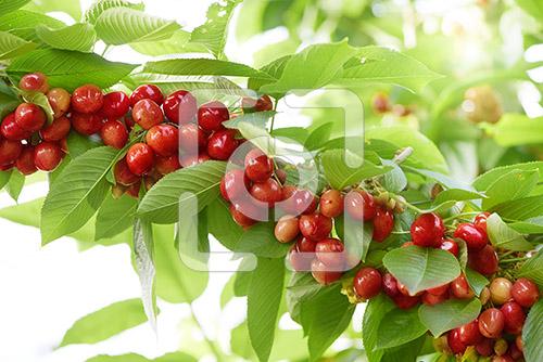 kersen aan een kersenboom in de kersenboomgaard